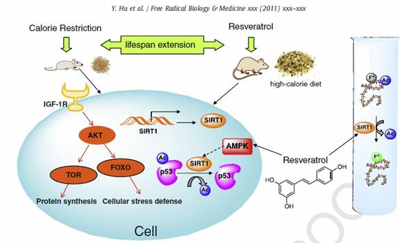 Molecular mechanism underlying a calorie-restricted diet, the Sirtuin1 gene, and resveratrol