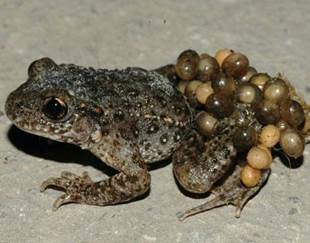 toad-eggs