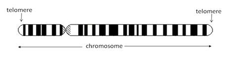 chromozome-telomere