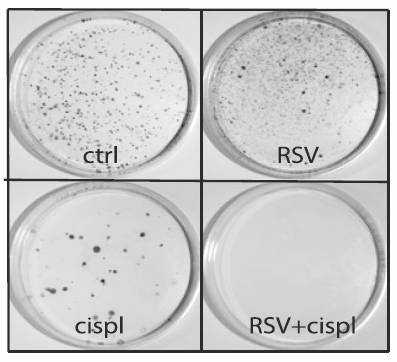 Laboratory dishes: resveratrol, cisplatin
